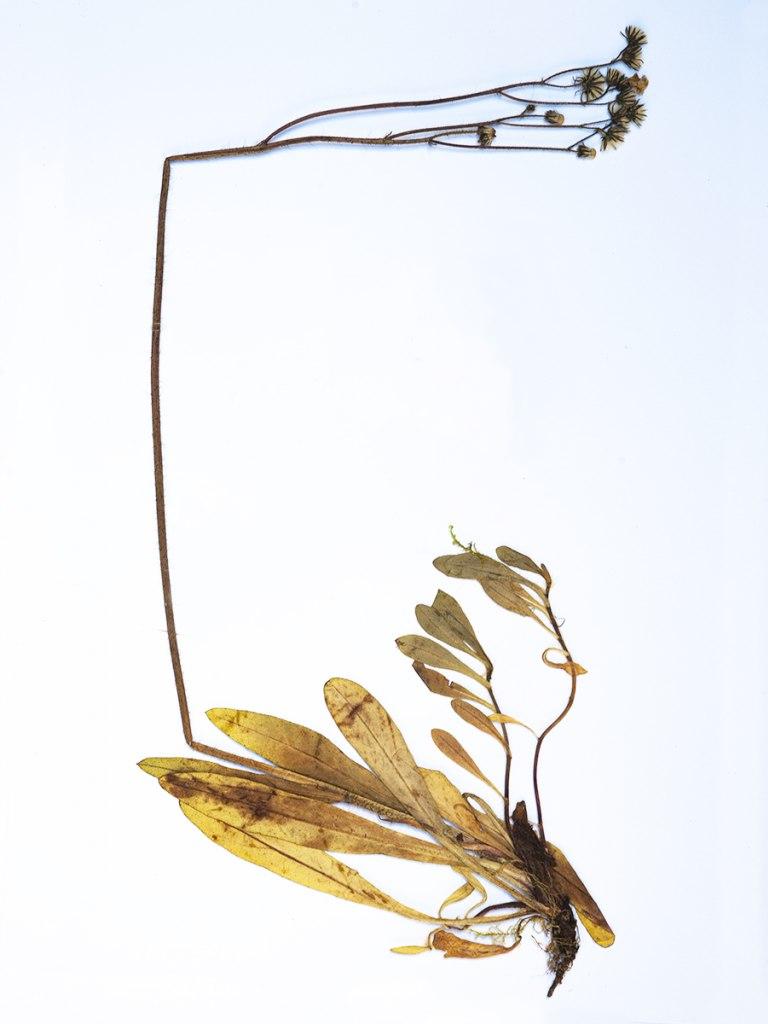 <p>Jestřábník zední, Místo sběru: Špindlerův mlýn, Rok sběru: 2006</p>
